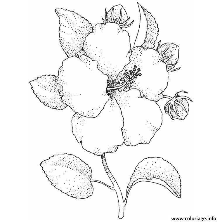 Coloriage fleur hibiscus dessin - Fleur dessin images ...