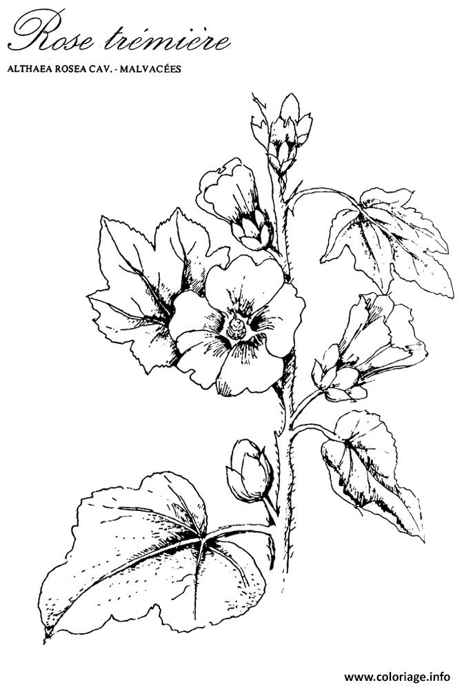 Coloriage roses 82 - Coloriage rose ...