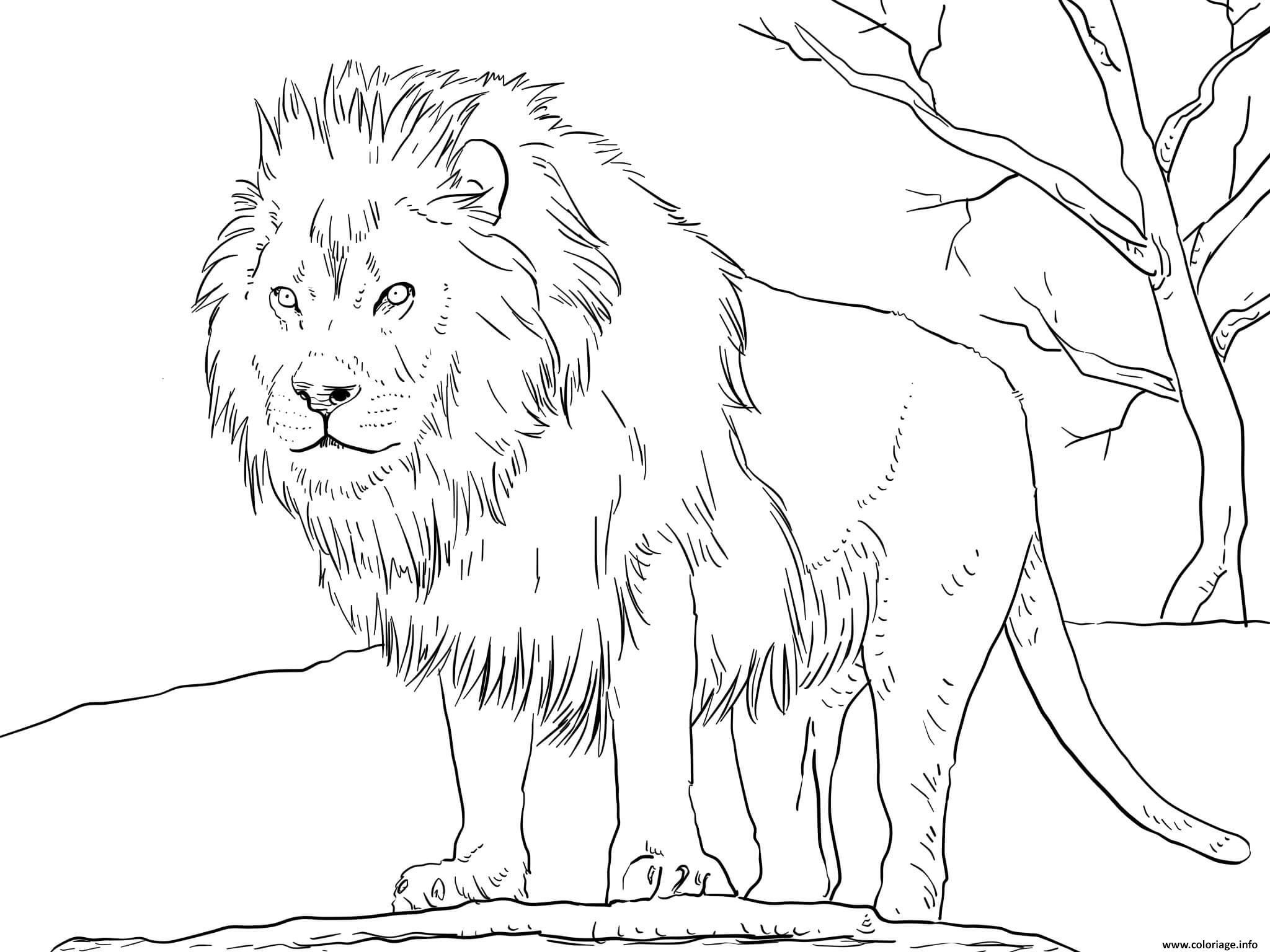 Coloriage Male African Lion Dessin Lion à imprimer