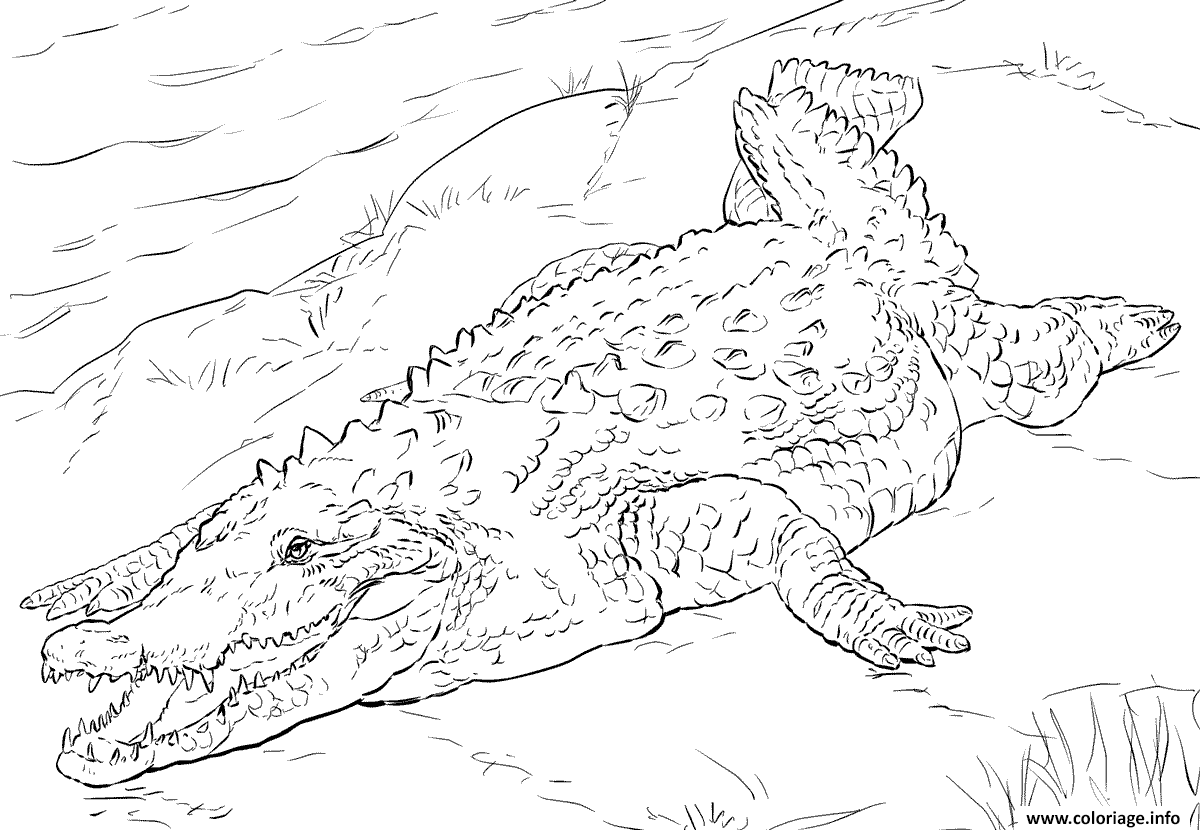Dessin crocodile americain realiste Coloriage Gratuit à Imprimer