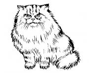 chaton persan dessin à colorier