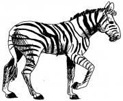 zebre 22 dessin à colorier