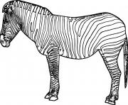 zebre 36 dessin à colorier