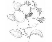 fleur hibiscus dessin à colorier