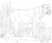 standing lioness dessin à colorier