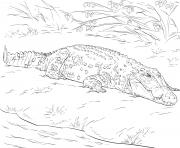 crocodile marin daustralie realiste dessin à colorier