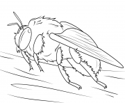 abeille bourdons genre Bombus dessin à colorier