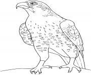 faucon dessin à colorier