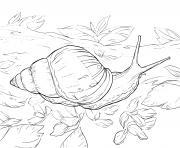 escargot bulime tronque de type mollusque et omnivore dessin à colorier
