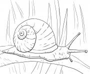escargot terrestre scutalus qui respire l air dessin à colorier