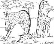 2 girafes dans la savane dessin à colorier