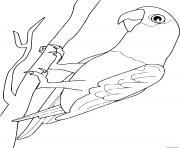 perroquet gris du gabon dessin à colorier