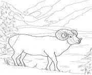 argali mouflon mouton de montagne dessin à colorier