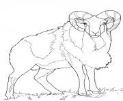 mouton mouflon dessin à colorier