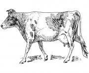 vache realiste dessin à colorier