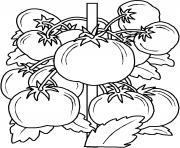 plan de tomates dessin à colorier