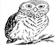 chouette realiste dessin à colorier
