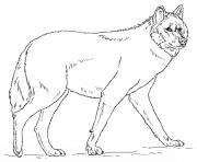 loup gris realiste dessin à colorier
