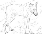 loup rouge realiste dans la foret dessin à colorier