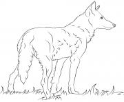 loup rouge de floride dessin à colorier