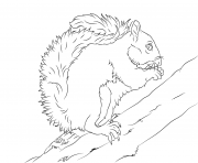 ecureuil gris mange une noix dessin à colorier
