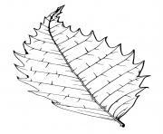 feuille arbre hetre dessin à colorier