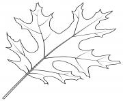 feuille de chene ecarlate dessin à colorier