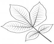 feuille de caryer a ecorce courte dessin à colorier