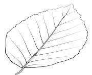 feuille de hetre en cuivre dessin à colorier