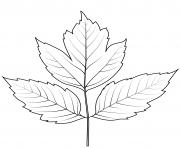 feuille de sureau dessin à colorier